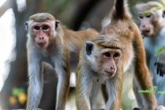 Monos de capo imagen de archivo