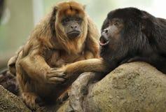 Monos de chillón Fotografía de archivo