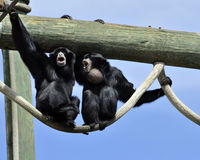 Monos de chillón que gritan Fotografía de archivo libre de regalías