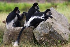 Monos de Colobus blancos y negros en la mirada hacia fuera fotografía de archivo libre de regalías