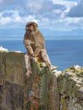 Monos de Gibraltar Imagen de archivo libre de regalías