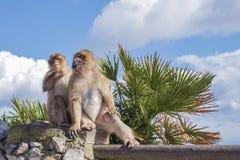 Monos de Gibraltar Fotos de archivo libres de regalías