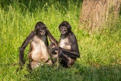 Monos de la araña de Geoffroy (geoffroyi del Ateles) Imagen de archivo libre de regalías