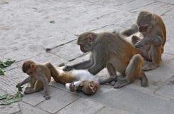 Monos de la caricia Fotos de archivo
