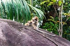 Monos de la isla de Tioman Imagen de archivo libre de regalías