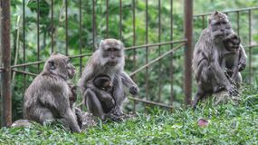 Monos de la madre y sus bebés Imagenes de archivo