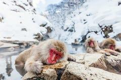 Monos de la nieve Fotografía de archivo