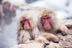 Monos de la nieve Foto de archivo
