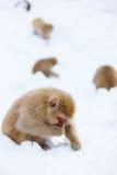 Monos de la nieve Foto de archivo libre de regalías