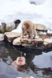 Monos de la nieve Imagen de archivo