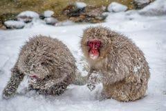 Monos de la nieve del Wold que son alimentados por los funcionarios del parque Fotografía de archivo libre de regalías