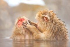 Monos de la nieve en el parque del mono de Jigokudani, Nagano Fotos de archivo