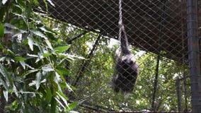Monos de los gibones o leucogenys de Nomascus en jaula en el parque del parque zoológico de Dusit o de Wana del dinar de Khao en  metrajes