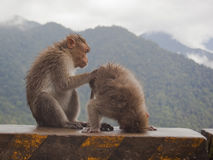 Monos de Macaque Imagen de archivo libre de regalías