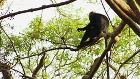 Monos de Macaque de capo en una rama de árbol almacen de video