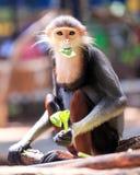 Monos de Macaque cinco colores (Douc rojo-shanked) Imagenes de archivo