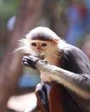 Monos de Macaque cinco colores (Douc rojo-shanked) Imagen de archivo libre de regalías