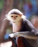Monos de Macaque cinco colores (Douc rojo-shanked) Foto de archivo libre de regalías