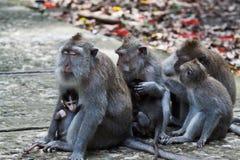 Monos de Macaque con el cuidado de los bebés Imagen de archivo
