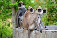 Monos de Macaque de Srí Lanka fotos de archivo libres de regalías