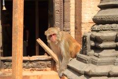 Monos de Macaque en un templo en Katmandu en Nepal, mono foto de archivo