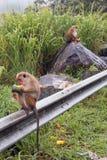 Monos de Macaque masculinos de la toca que alimentan en la sandía en el borde de la carretera en Sri Lanka imagenes de archivo