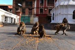Monos de Macaque que comen maíz Fotos de archivo