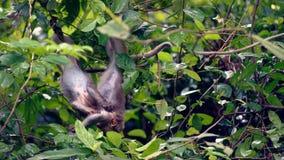 Monos de macaque que luchan, Da Nang, Vietnam Fotografía de archivo
