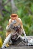 Monos de probóscide de la momia y del hijo Foto de archivo