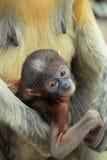 Monos de probóscide del bebé Fotos de archivo