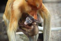 Monos de probóscide del bebé Imágenes de archivo libres de regalías