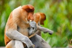 Monos de probóscide Imagenes de archivo