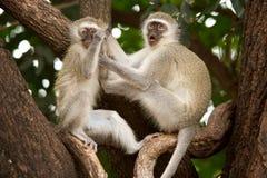 Monos de Vervet foto de archivo