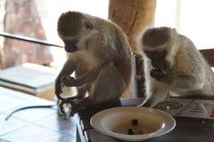 Monos de Vervet que roban aceitunas de la placa imágenes de archivo libres de regalías