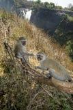 Monos de Vervet, Victoria Falls, Zimbabwe Fotografía de archivo