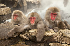 Monos del balneario Foto de archivo