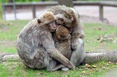Monos del Berber Fotografía de archivo