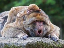 Monos del Berber Fotos de archivo libres de regalías