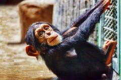 Monos del chimpancé del bebé Imagen de archivo