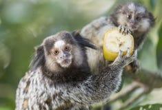 Monos del mono tití Imagen de archivo libre de regalías