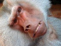 Monos del retrato Foto de archivo
