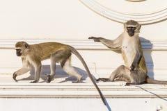 Monos dos animales del tejado Imagen de archivo libre de regalías
