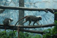 Monos en árboles fotografía de archivo libre de regalías