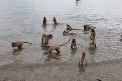 Monos en el agua que recogen la comida Foto de archivo