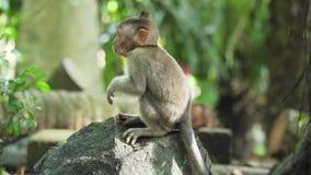 Monos en el bosque en Bali metrajes