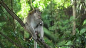 Monos en el bosque en Bali almacen de metraje de vídeo