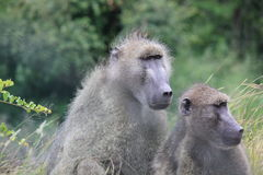 Monos en el parque de Kruger Foto de archivo