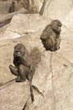 Monos en el parque zoológico Imagen de archivo libre de regalías
