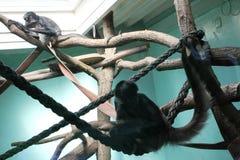Monos en el PARQUE ZOOLÓGICO en Poznán, Polonia Fotografía de archivo