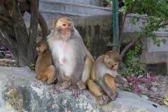 Monos en el templo de Swayambunath en Katmandu, Nepal Fotografía de archivo libre de regalías